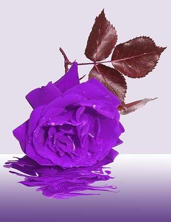 morte colore viola